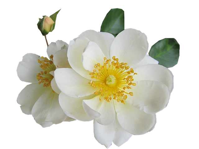 Flower, Rose, White, Pollen, Cut Out, Isolated, Garden