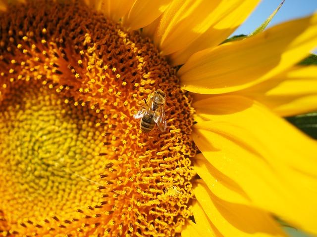 Bee, Pollen, Collect, Sun Flower, Blossom, Bloom