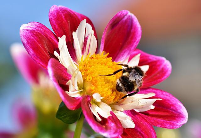 Bee, Insect, Pollinate, Pollination, Zinnia, Flower