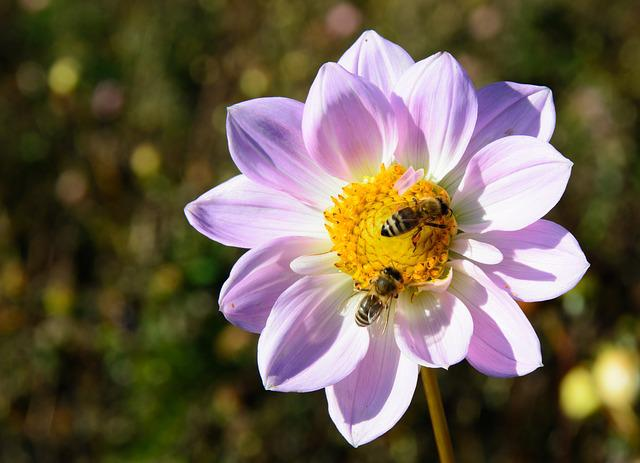 Dahlia, Flower, Blossom, Bloom, Bees, Pollination