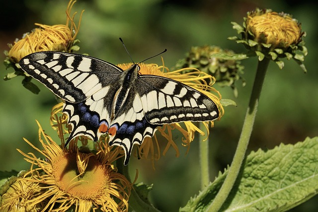 Butterfly, Flowers, Pollinate, Pollination, Insect