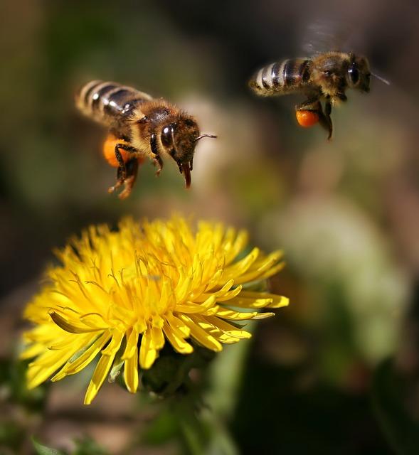Bee, Flight, Pollination, Pair, Dandelion