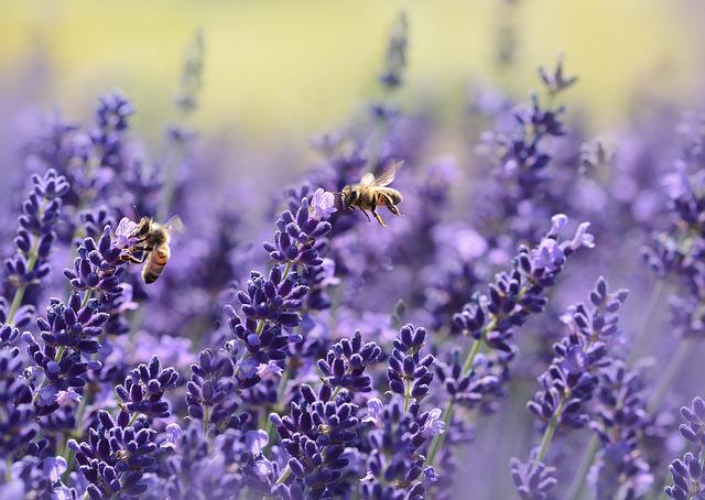 Lavenders, Bees, Pollinate, Pollination, Winged Insects
