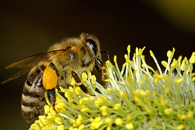 Bees, Pollination, Insect, Macro, Work, Pollen, Honey