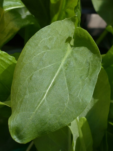 Sorrel, Kitchen Herb, Plant, Herb, Polygalas