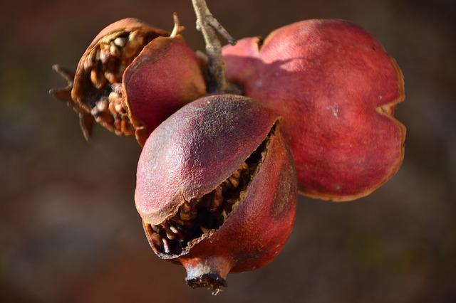 Pomegranate, Old, Dry, Old Pomegranate, Autumn