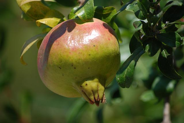 Pomegranate, Fruit
