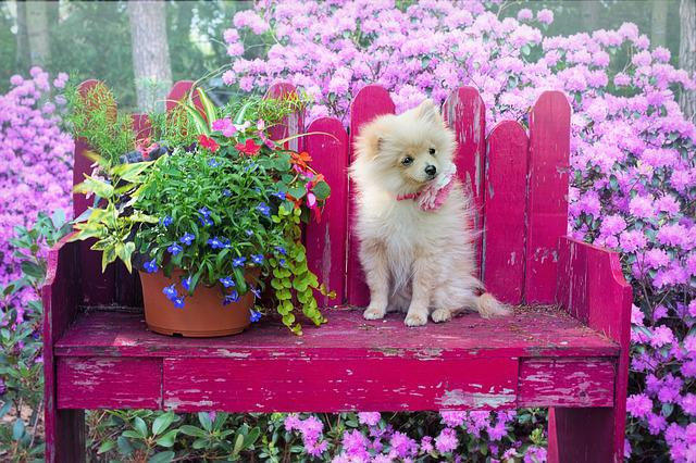 Dog, Puppy, Pomeranian, Animal, Pet, Cute, Canine