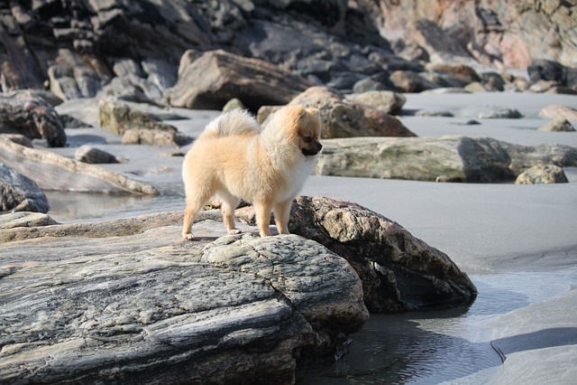 Pomeranian, Spitz Miniature, The Dog On The Beach