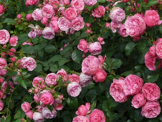 Rose, Pink, Rose Flower, Roses, Floribunda, Pomponella
