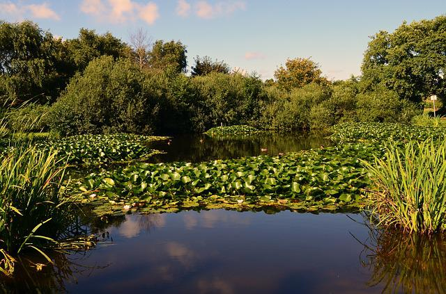 Nuphar, Water Lilies, Aquatic Plant, Pond, Duck Pond