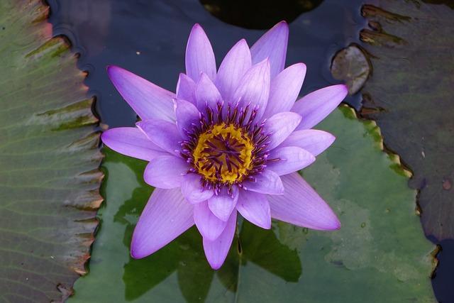 Pond, Lotus, Flower, Aquatic Plants
