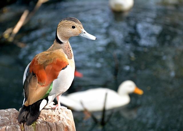 Duck, Swimming, Water, Pond Birds