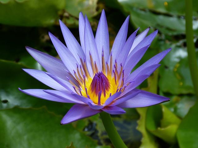 Water Lily, New Zealand, Blue, Pond, Teichplanze