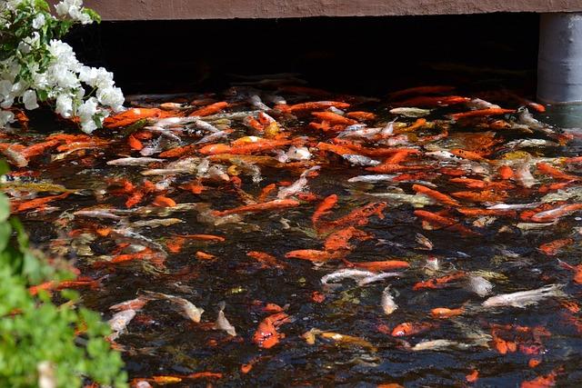 Koi, Pond, Fish, Koi Carp, Appear, Fish Pond