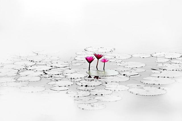 Lotus, Flower, Quiet, Pond, Water Plant