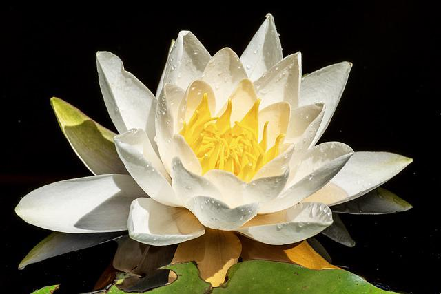 Water Lily, Aquatic Plant, Water Flower, Pond Flower