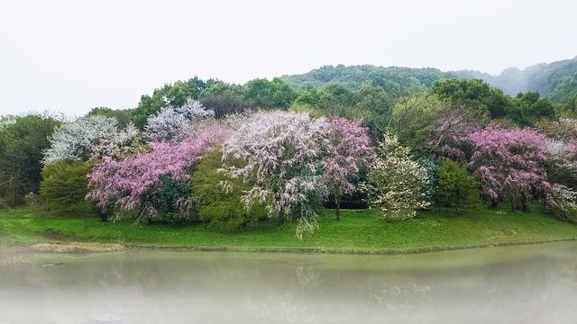 Cherry, Pond, Japan, Kumamoto, Flowers, Lake, Spring