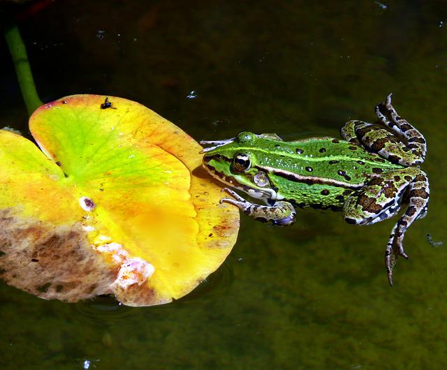 Frog, Water Frog, Lily Pad, Pond, Garden, Amphibian