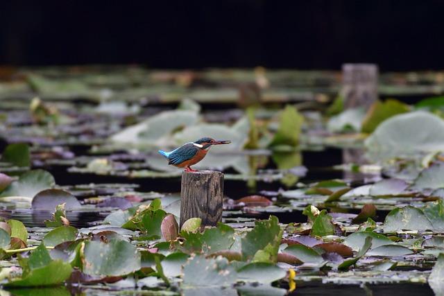 Bird, Natural, Wild Animals, Outdoors, Pond, Kingfisher
