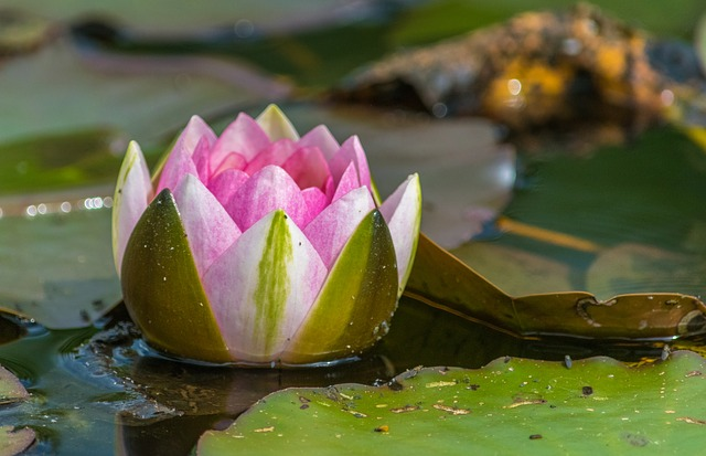 Water Lily, Lake, Nuphar, Nature, Pond, Flower