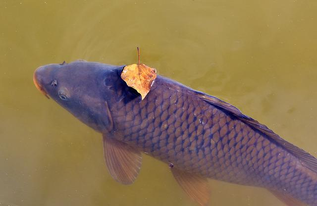 Carp, Fish, Water Surface, Leaf, Leaves, Swim, Pond