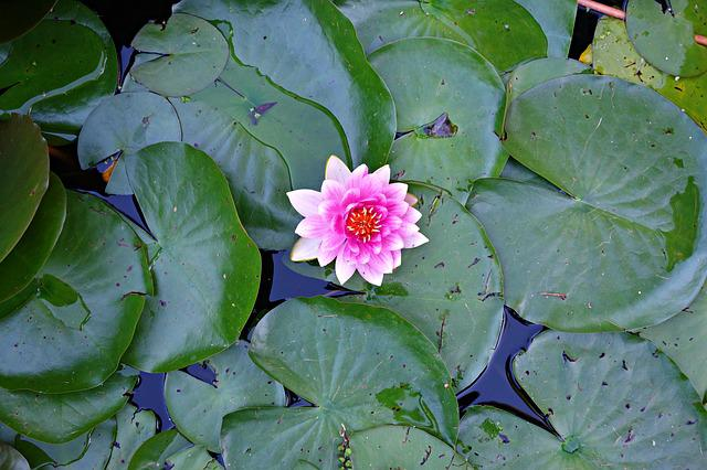 Water Lily, Lily, Plant, Flower, Water, Pond, Pad