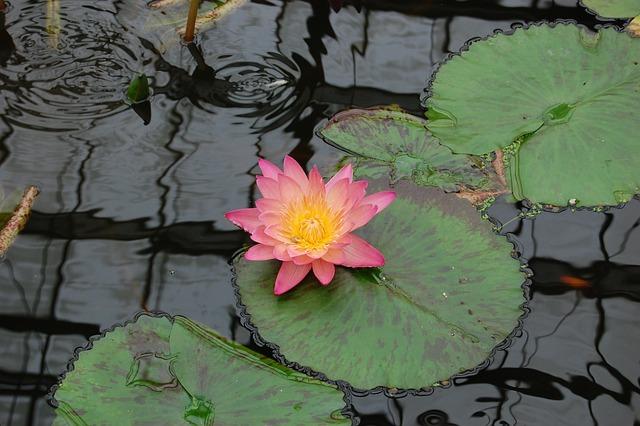 Pond, Lotus, Aquatic, Lily