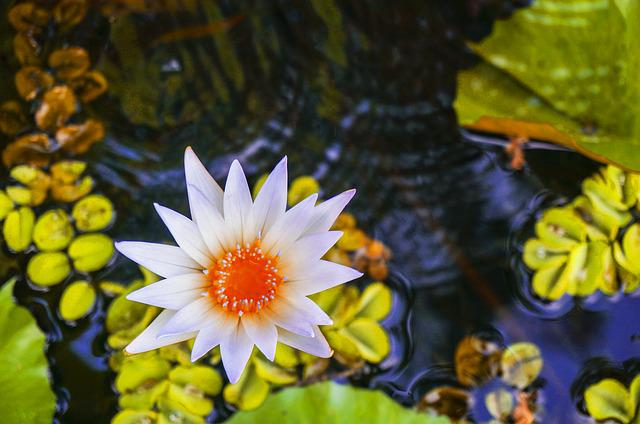 Lotus, Lotus On Pond, Water Lily, Pond, Water, Plant