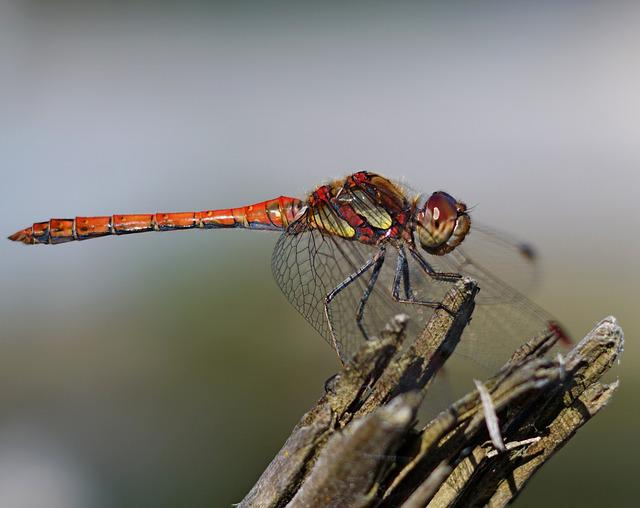 Dragonfly, Nature, Pond, Insects, Macro