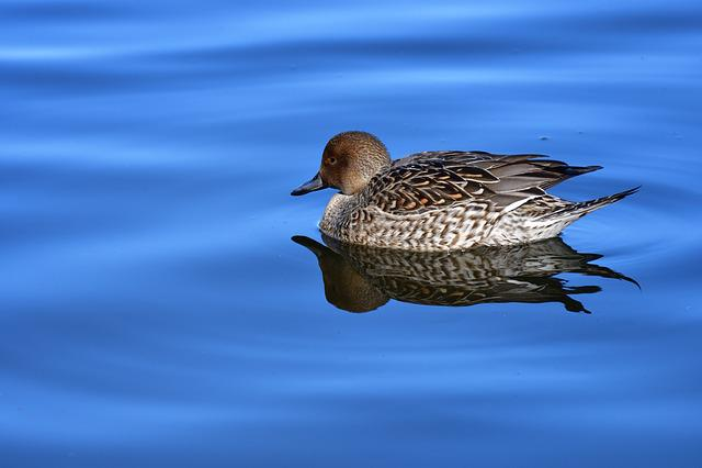 Bird, Waters, Duck, Pond, Natural, Teal, Common Loop
