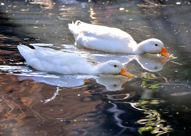 White Ducks, Swimming, Pond, Nature