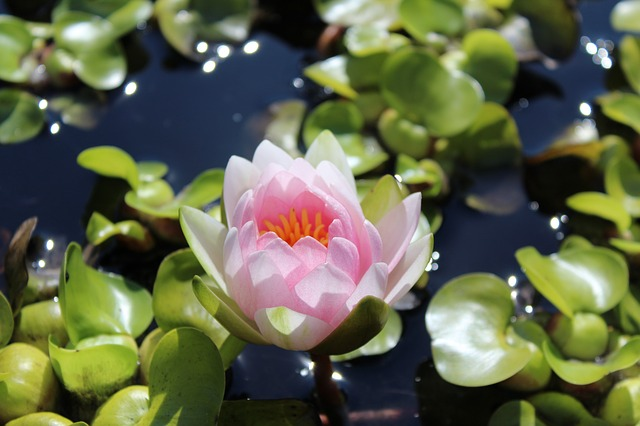 Water Lily, Nuphar Lutea, Pond Plant, Plant, Blossom