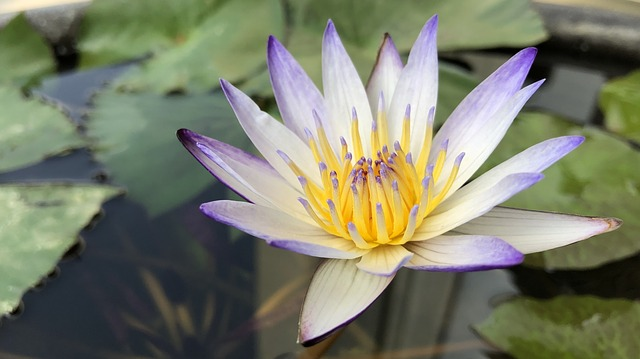 Flower, Pond, Plant, Lotus, Nature