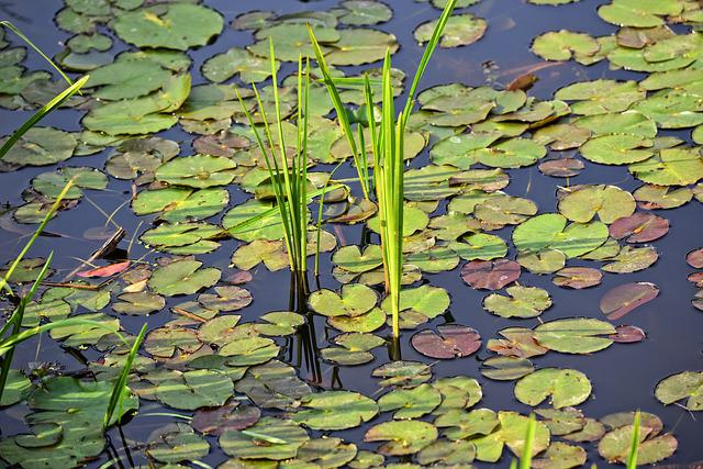 Pond, Water, Reeds, Water Lily, Plant, Leaves