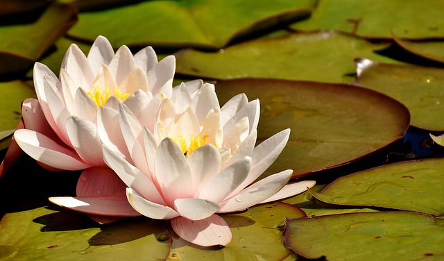 Water Lilies, Pink, White, Summer, Pond Plant