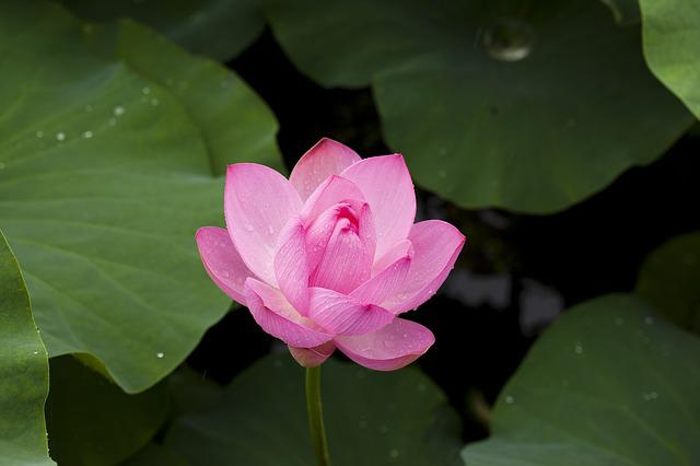 Lotus, Nature, Plants, Flowers, Pink, Pond Plants