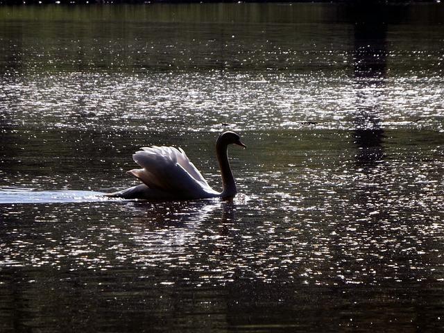 Swan, Mattheiser Pond, Pond, Natural Mood