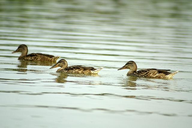 Bird, Duck, Water, Pond