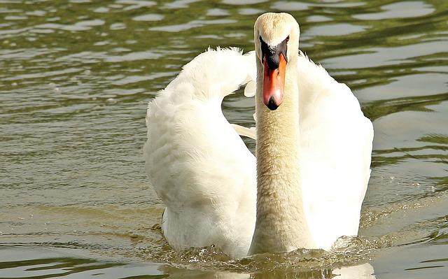Swan, Pond, Lake, Animal, Bird, Plumage, Water Bird