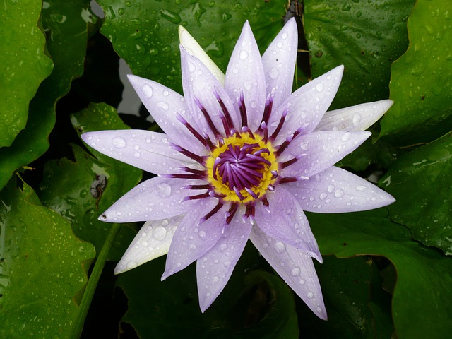 Flower, Water Lily, Purple, Martinique, Pond, Caribbean