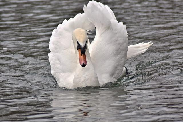 Pond, Swan, White Swan