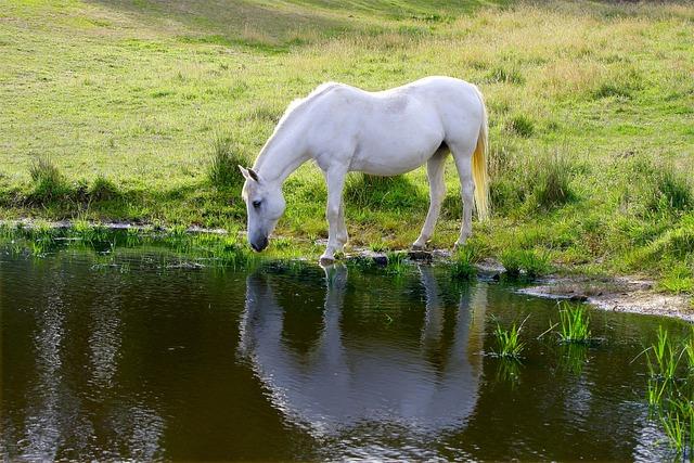 Horse, Animal, Farm, Pony, Drinking, Australia, Misty