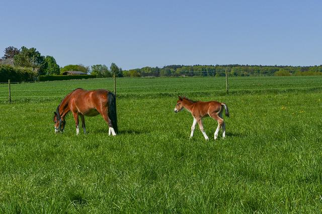 Pony Mare Browsing, Foal, Colt, Brown, Blaze White