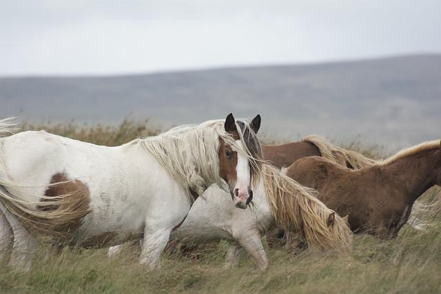 Horse, Pony, Mane, Animal, Rural, Mare