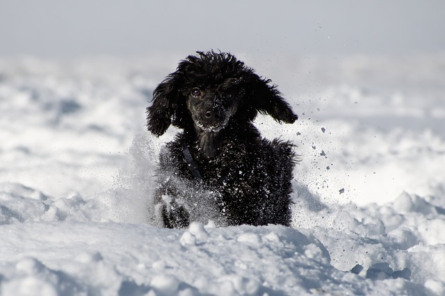 Dog, Poodle, Miniature Poodle, Young Animal, Nature