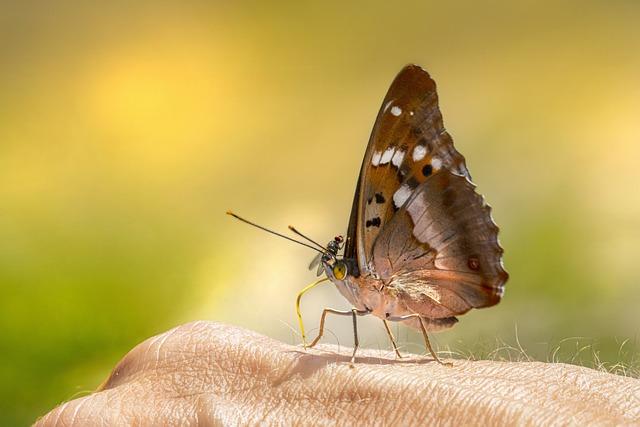 Poplar Admiral, Butterfly, Limenitis Populi, Hand