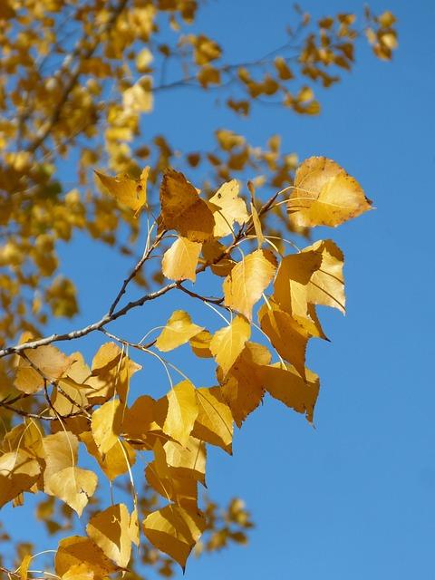 Poplar, Yellow Leaves, Falling Leaves, Autumn