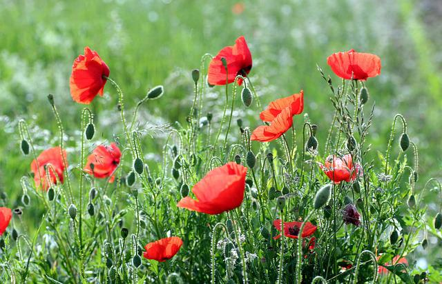 Flowers, Poppies, Red, Poppy, Nature, Field, Country