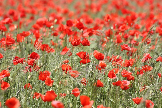 Poppies, Flowers, Field, Red Poppies, Red Flowers